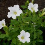 お日様大好きな可愛い花!初心者にオススメの「サフィニア」の育て方
