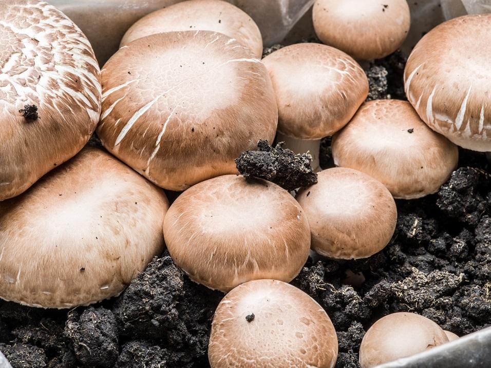 採れたてを自宅で味わう!「菌床栽培」で育てるきのこの育て方