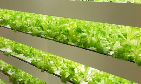 サラダやサンドイッチの定番野菜「レタス」の栽培方法