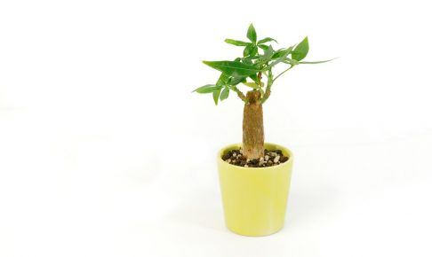 100均でも買える手軽さが嬉しい、苗植えパキラの上手な育て方
