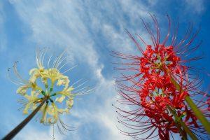 【色鮮やかな彼岸花】花の特徴と初心者でも簡単な育て方
