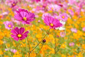 約3ヶ月で花咲く「コスモス」の育て方!植え付け時期や管理は?