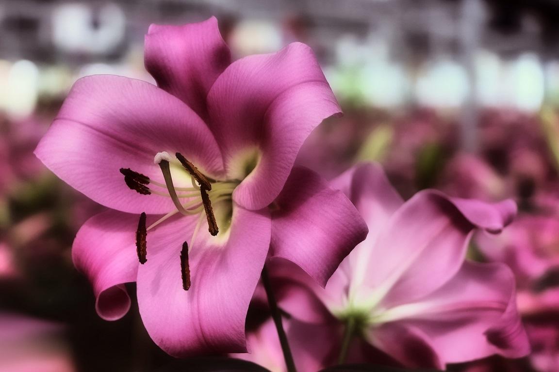 結婚式でユリの花を使いたいなら、絶対知るべき「花言葉」のワナ