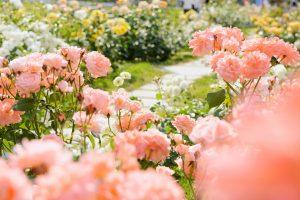 大好きな花を増やしてみよう!「バラ」の挿し木のやり方