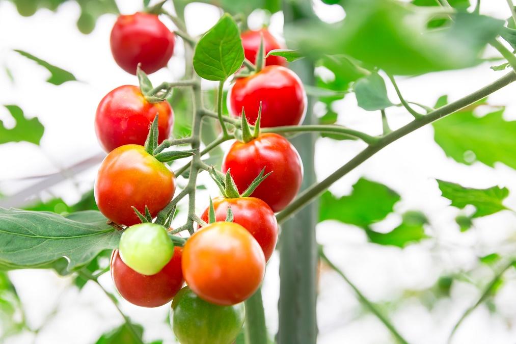 ミニトマトの育て方と栽培のコツ