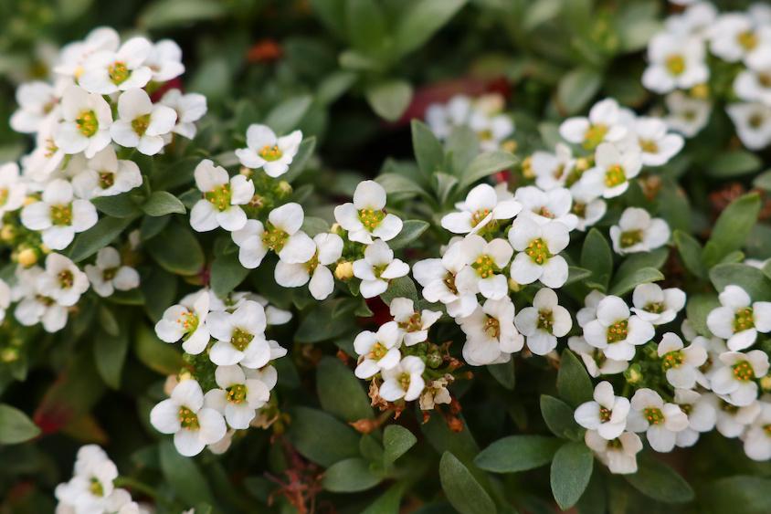 11月に植えるのにおすすめの花 10選