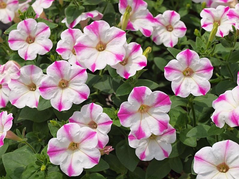 9月に植えるのにおすすめの花 10選