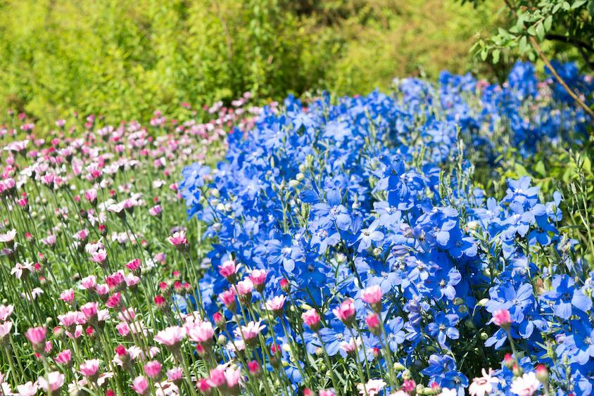 デルフィニウムミントブルーの花
